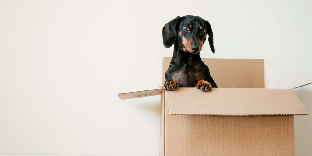 An adorable, small, black and brown dog pokes his head out of a moving box.